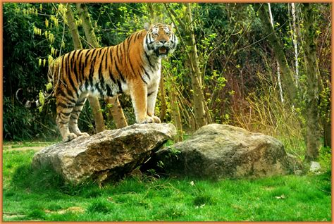 imagenes animales de la selva imagenes de tigres en la selva archivos imagenes de tigres