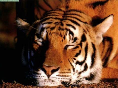 imagenes sorprendentes de tigres fotos de tigres i