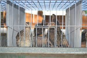 backyard quail