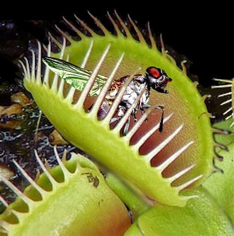 facts for venus flytrap facts for facts about the venus fly trap we live a lot