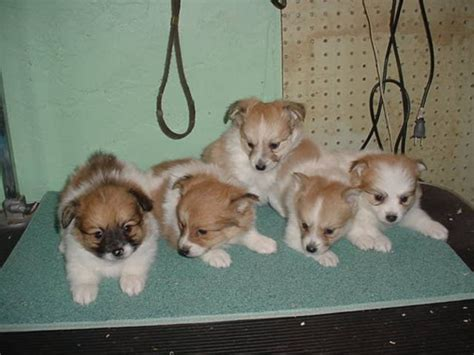 pomeranian puppies for sale in ontario papillon pomeranian puppies for sale in harriston ontario your pet for sale