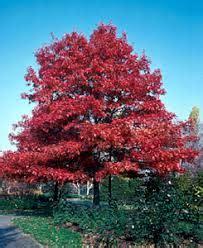 quercus coccinea scarlet oak kiefer nursery trees