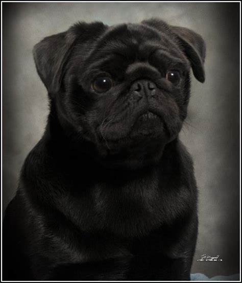 pug breeders northern california ncpc pug of the month
