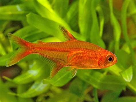 N1 E Size Kecil hyphessobrycon amandae ember tetra seriously fish