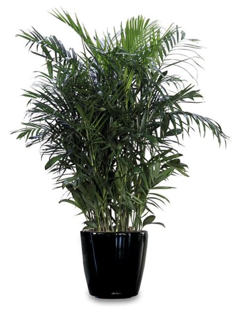 aa palm the free encyclopedia 17 best ideas about bamboo palm on humidifier