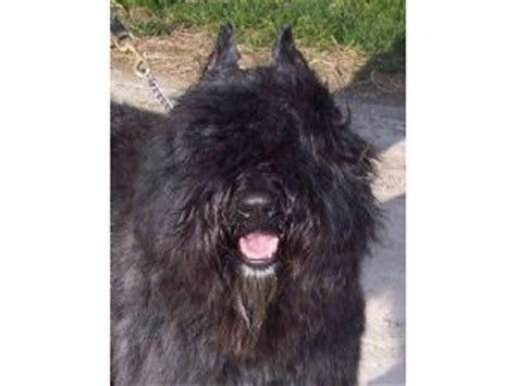 bouvier puppies for sale in michigan bouvier des flandres puppies for sale