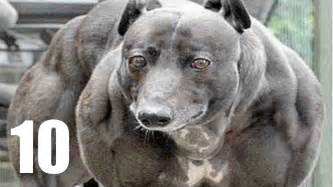 top ten dogs world strongest www pixshark images galleries with a bite
