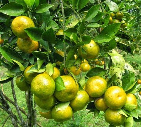 Jeruk Medan Manis 1 manisnya jeruk lokal banyuwangi anak nelayan