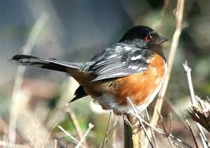 mystery bird spotted towhee pipilo maculatus living
