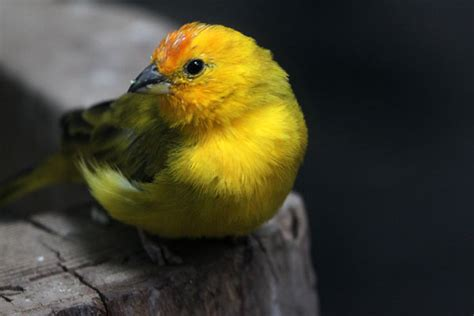 related keywords suggestions for saffron finches