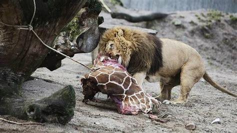 imagenes de leones cazando jirafas matan a un beb 233 jirafa sano y se lo echan de comer a los