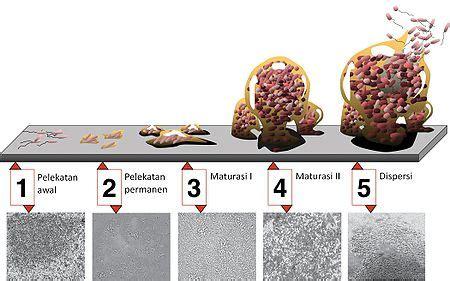Biofilm Adalah   biofilm wikipedia bahasa indonesia ensiklopedia bebas