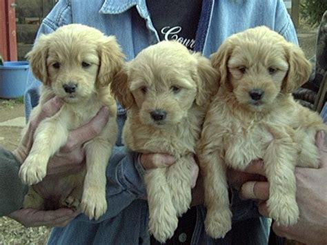 mini goldendoodle puppies nc mini goldendoodle puppies 4 weeks breeds picture