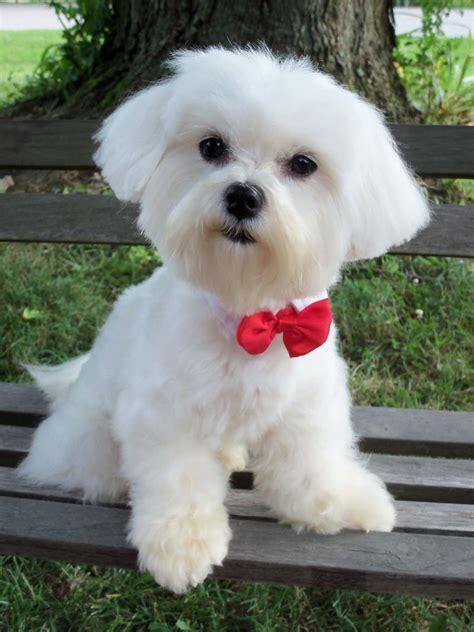 maltese puppy cut maltese summer cut newhairstylesformen2014