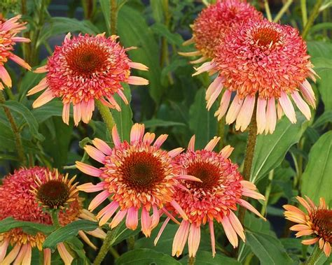 echinacea garden crossings online mail order plant catalog simply the best n my favorite
