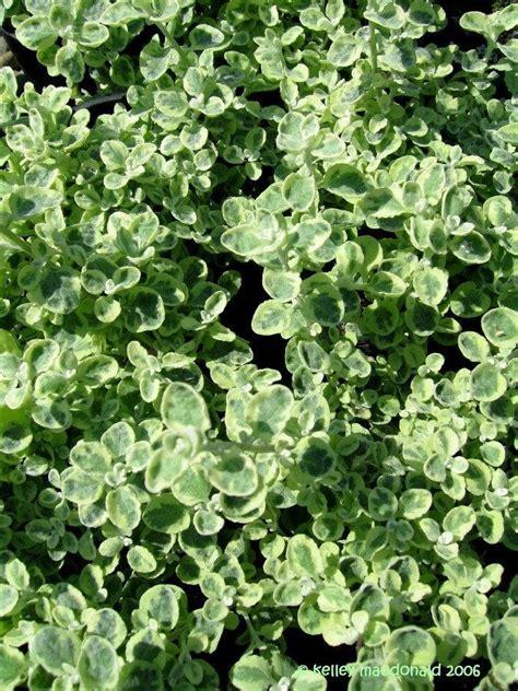plantfiles pictures helichrysum licorice plant