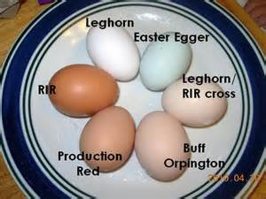 buff orpington egg color leghorn easter egger buff orpington production