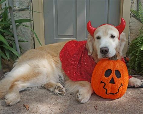 golden retriever costume for humans 12 costumes that prove golden retrievers always win at