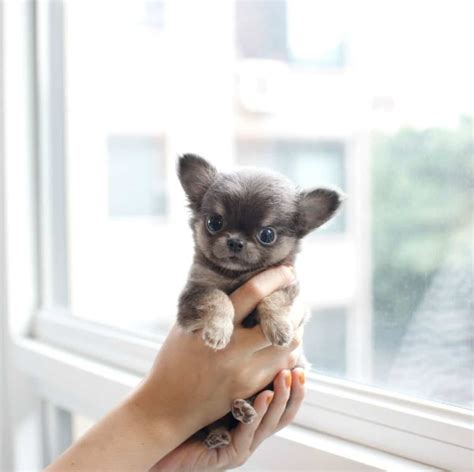 chihuahua puppies for sale in iowa micro teacup chihuahua puppies hairstylegalleries