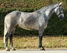 Irish draught horse erin go dog irish breeds of canines horses