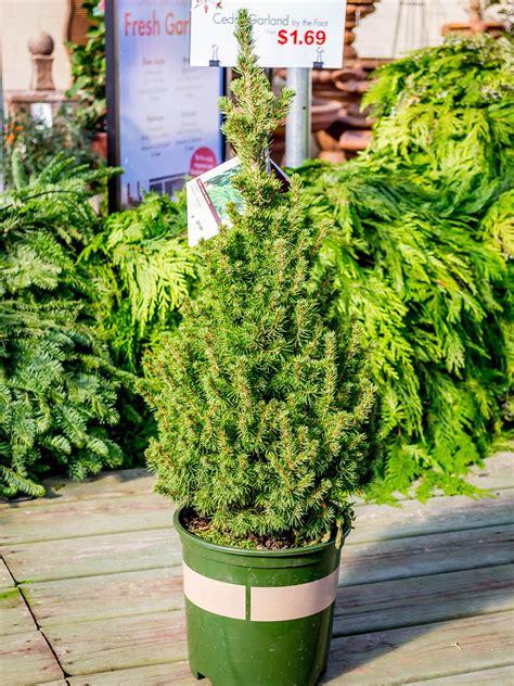 living christmas tree care guide hgtv