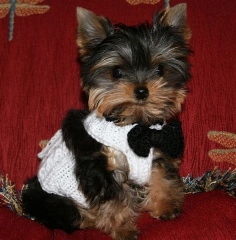 teacup yorkie michigan top 25 best yorkie puppies ideas on puppies teacup yorkie and