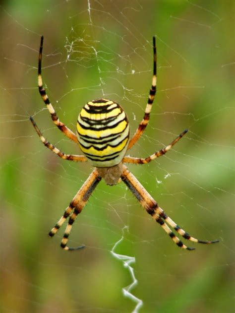 Garden Spider Family Name Black And Yellow Argiope Hairstyle 2013