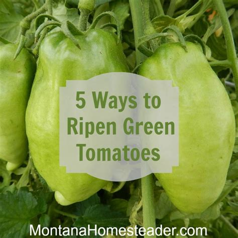 how to ripen green tomatoes 5 different ways montana homesteader