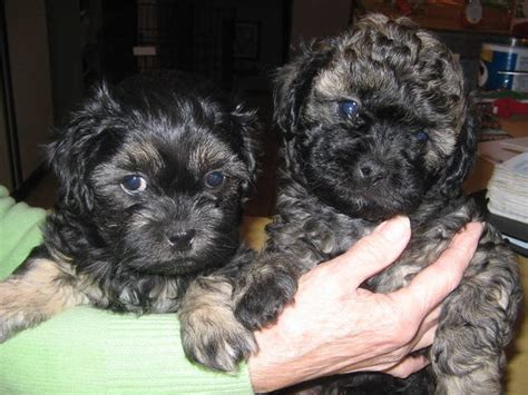 shih tzu poodle mix puppies for sale in nc black and brown shih tzu puppies quotes