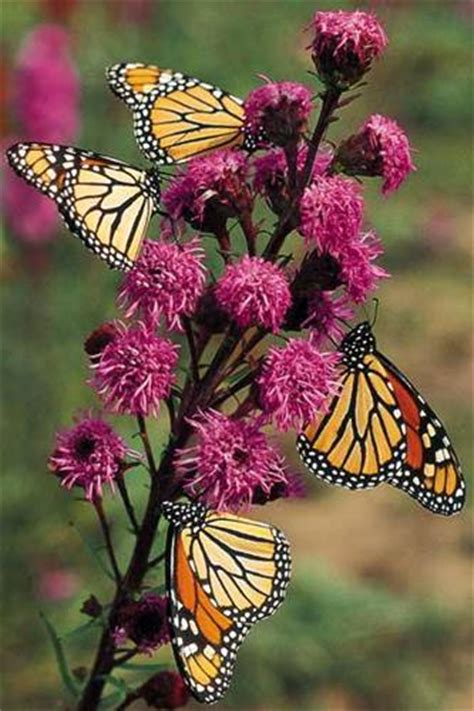 growing butterfly gardens to attract the most different