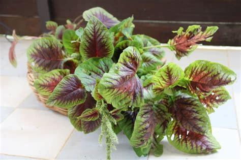 Penjual Benih Bayam Merah tips cara mudah menanam bayam dalam pot atau polybag