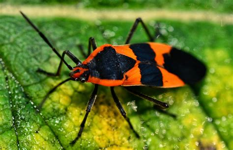 bed bugs video black and orange bug video search engine at search com