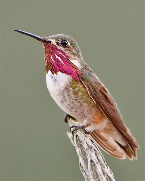 1000 images about hummingbirds on pinterest south