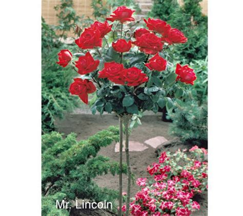 cottage farms roses cottage farms mr lincoln 36 quot standard tree m9111