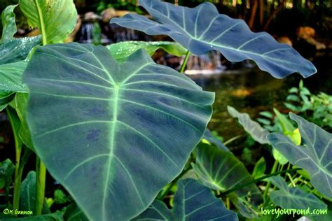 taro leaves plant care taro plant pond critters and plants fence hydrangeas and plants