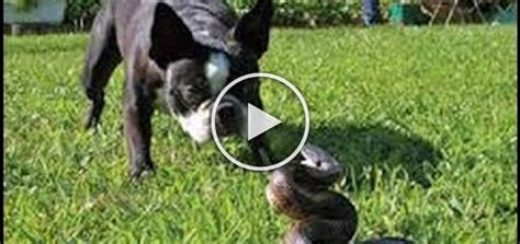 best attack dogs 5 best snake vs attacks 2015 compilation