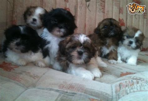 shih tzu puppies new hshire shih tzu puppies ready for new homes now emsworth hshire pets4homes
