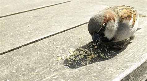 is it ok to feed bread to birds british bird lovers
