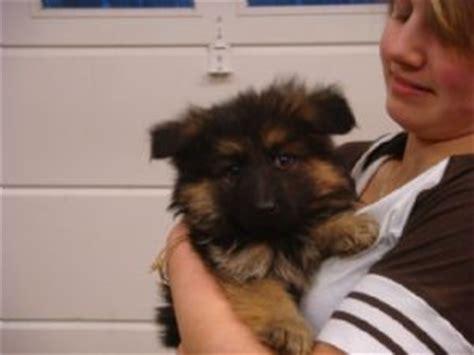 german shepherd puppies nh puppies in new hshire