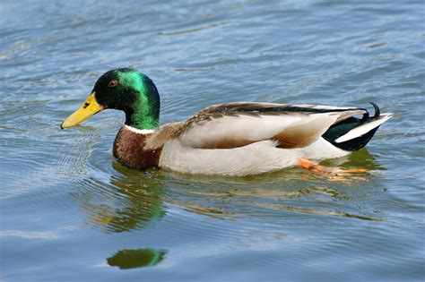 duck poop helps scientists sniff out avian flu 183 guardian