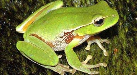 una rana a frog animais vertebrados anf 237 bios sapo animais cultura mix
