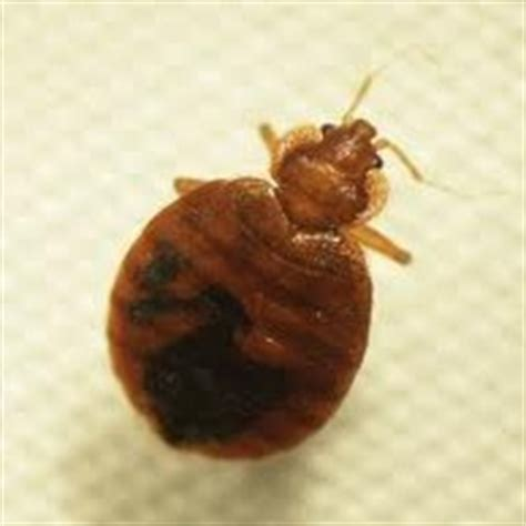 young bed bugs how to exterminate bedbugs yes pest pros inc