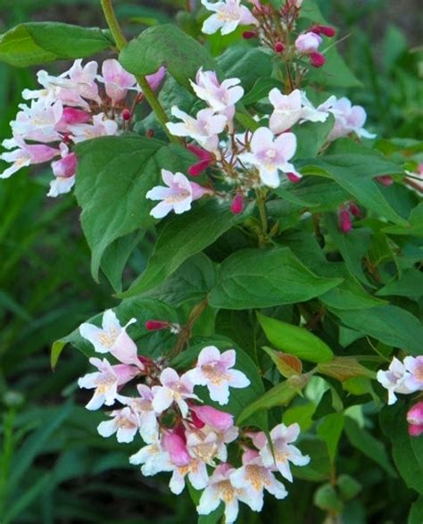 flowering shrubs canada kolkwitzia amabilis pink cloud bambooplants ca