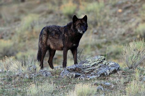 Tame Black Wolves From The Himalayas Natural History Black Wolf American