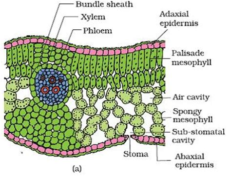 transverse section of a leaf diagram plant information online plantinfo blog plantinfo