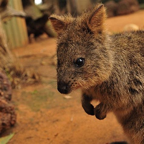 google images quokka 100 ideas to try about wombats quokkas australia