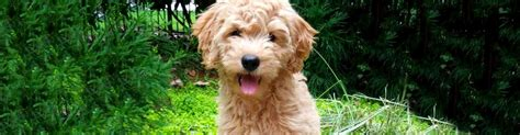 Kaos Never Look Back about kaos farm goldendoodles