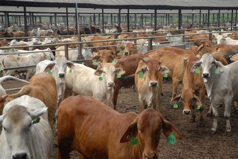 Bioboost Untuk Ternak Sapi dahsyat lung berbenah jadi sentra ternak sapi di sumatera independensi