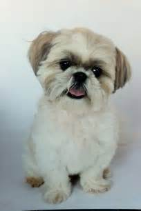 haircuts for shih tzus males shih tzu woodrow haircut shih tzu pinterest shih