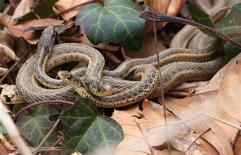 Garden Snake Pa Garter Snakes Flickr Photo
